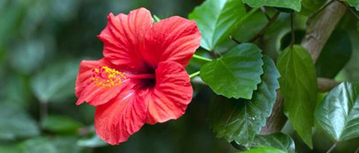 Hibiscus In Hindi